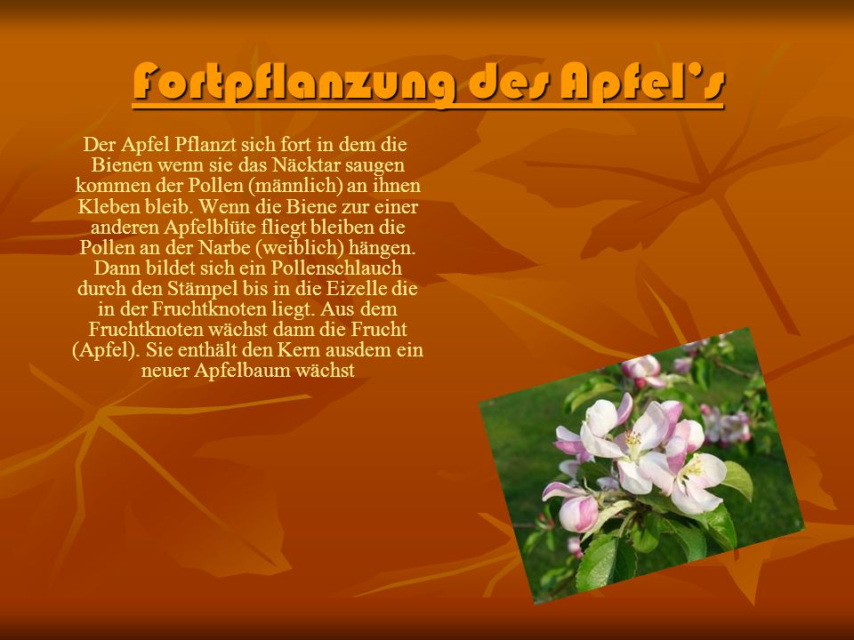 bl tenpflanzen der apfel malus ppt video online. Black Bedroom Furniture Sets. Home Design Ideas