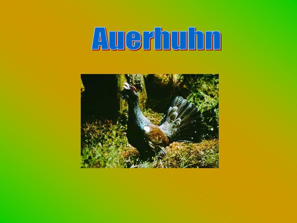 Auerhuhn