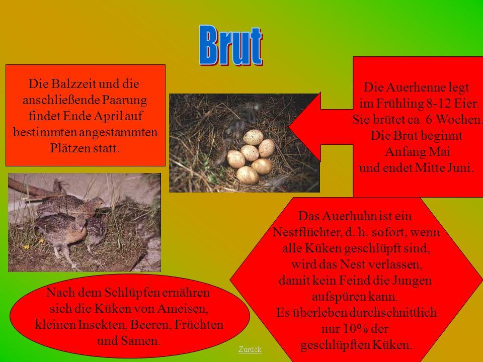 Brut Die Auerhenne legt im Frühling 8-12 Eier. Sie brütet ca. 6 Wochen. Die Brut beginnt Anfang Mai.