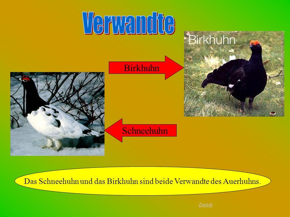 Das Schneehuhn und das Birkhuhn sind beide Verwandte des Auerhuhns.