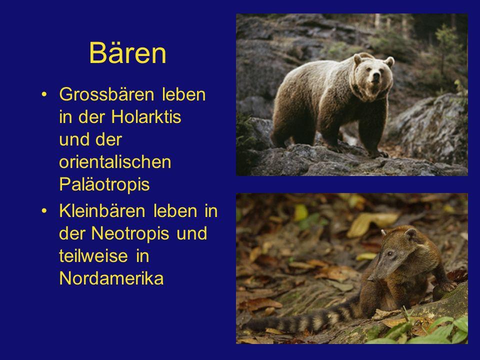 Bären Grossbären leben in der Holarktis und der orientalischen Paläotropis.