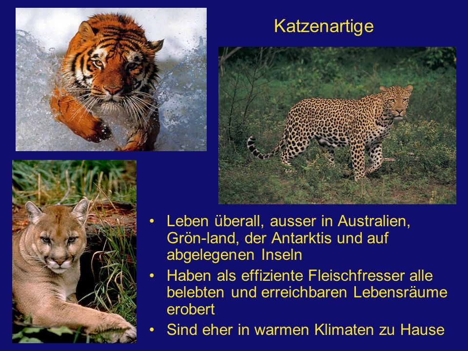 Katzenartige Leben überall, ausser in Australien, Grön-land, der Antarktis und auf abgelegenen Inseln.