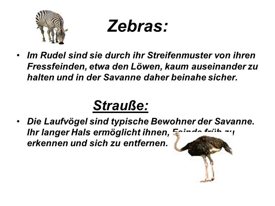 Zebras: