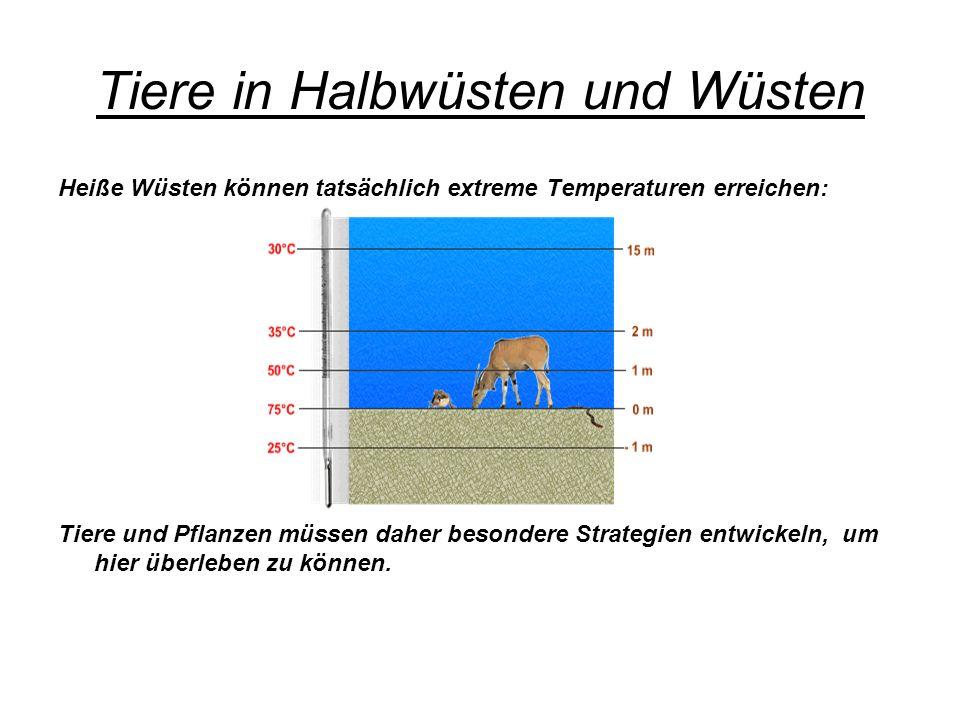 Tiere in Halbwüsten und Wüsten