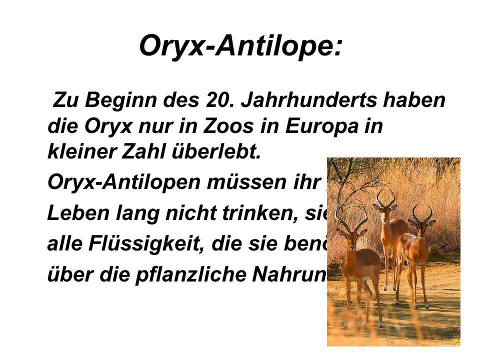 Oryx-Antilope: Zu Beginn des 20. Jahrhunderts haben die Oryx nur in Zoos in Europa in kleiner Zahl überlebt.