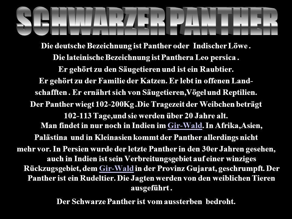 SCHWARZER PANTHER Die deutsche Bezeichnung ist Panther oder Indischer Löwe . Die lateinische Bezeichnung ist Panthera Leo persica .