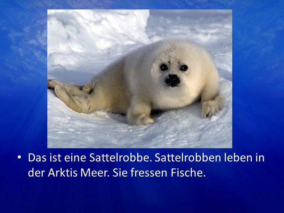Das ist eine Sattelrobbe. Sattelrobben leben in der Arktis Meer