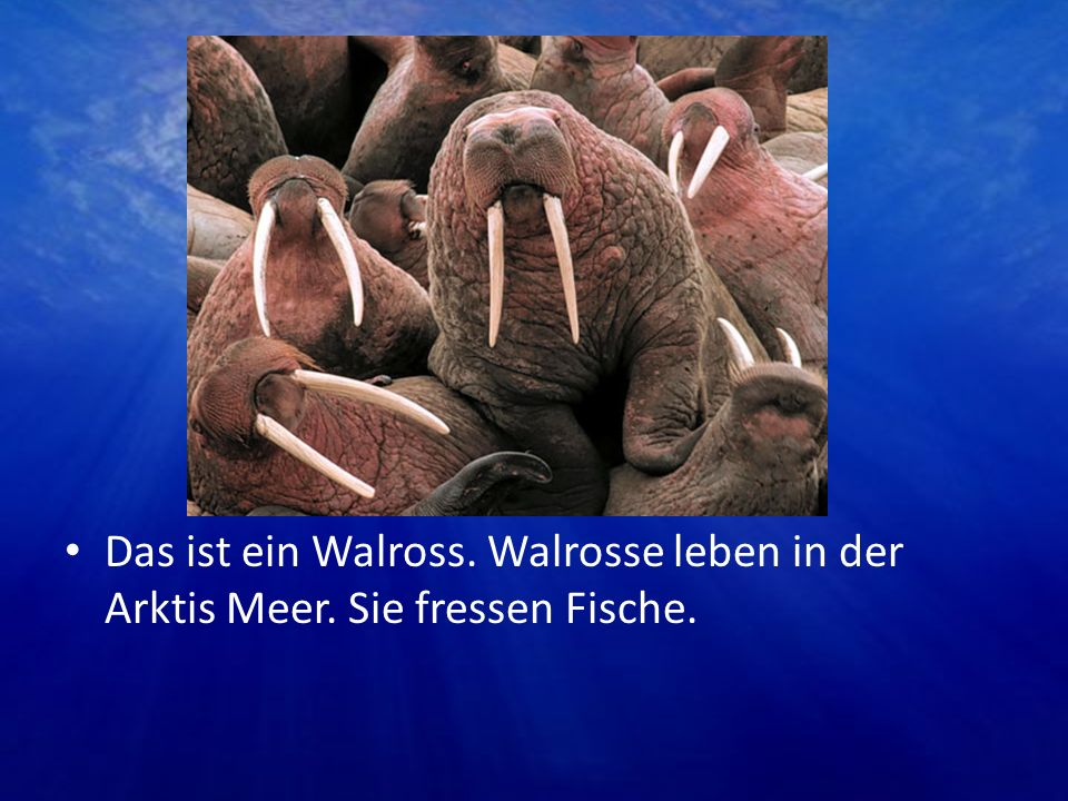 Das ist ein Walross. Walrosse leben in der Arktis Meer
