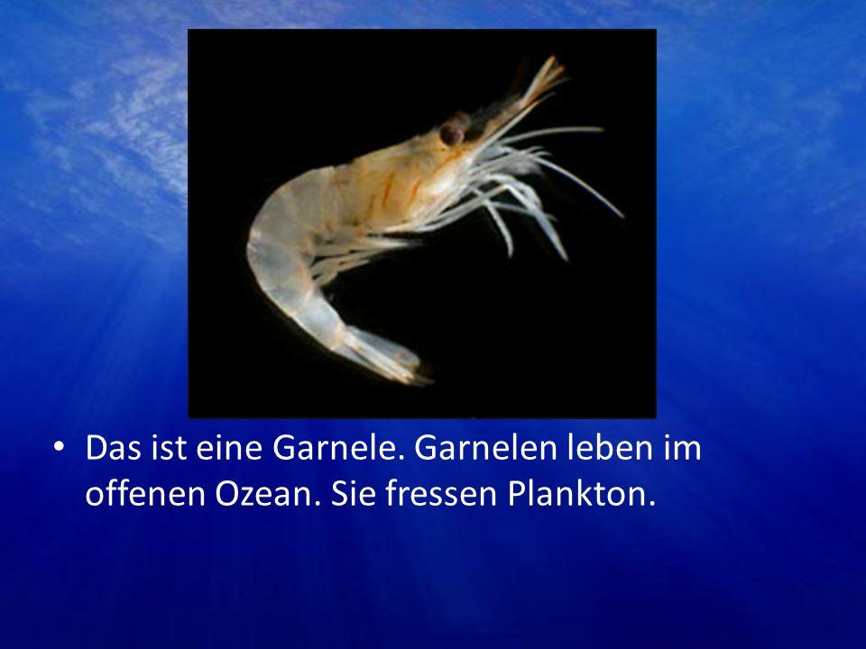 Das ist eine Garnele. Garnelen leben im offenen Ozean