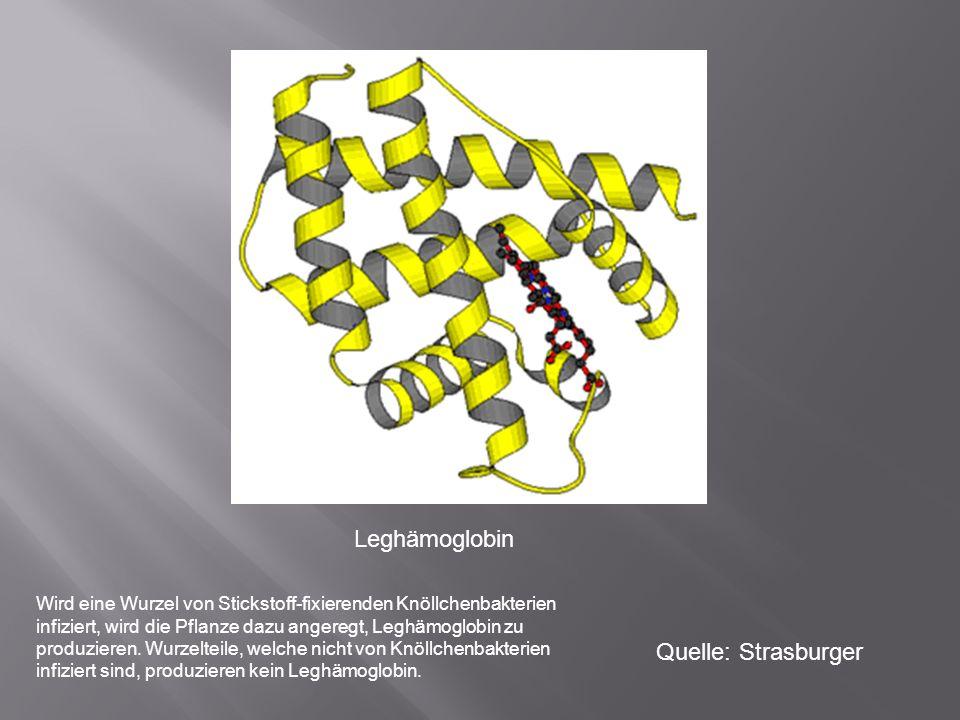 Leghämoglobin Quelle: Strasburger