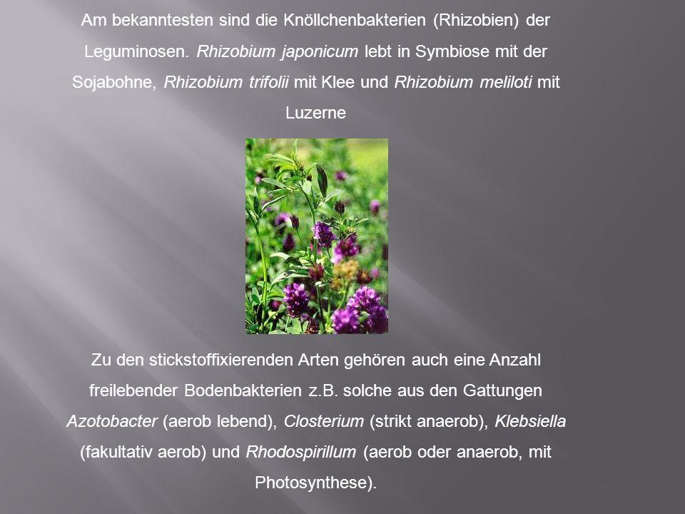 Am bekanntesten sind die Knöllchenbakterien (Rhizobien) der Leguminosen. Rhizobium japonicum lebt in Symbiose mit der Sojabohne, Rhizobium trifolii mit Klee und Rhizobium meliloti mit Luzerne