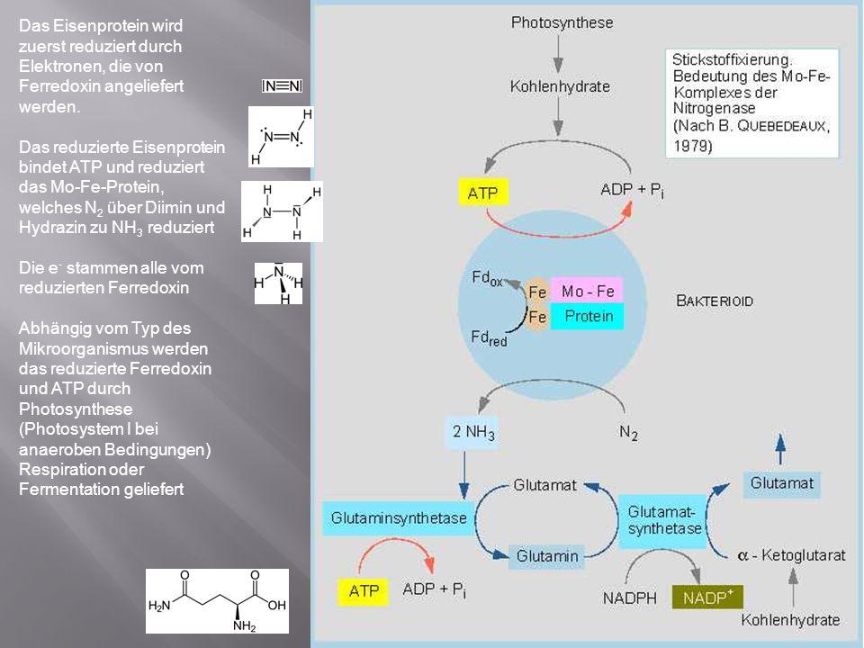 Das Eisenprotein wird zuerst reduziert durch Elektronen, die von Ferredoxin angeliefert werden.