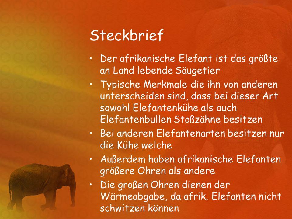 Steckbrief Der afrikanische Elefant ist das größte an Land lebende Säugetier.