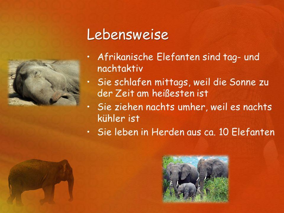 Lebensweise Afrikanische Elefanten sind tag- und nachtaktiv