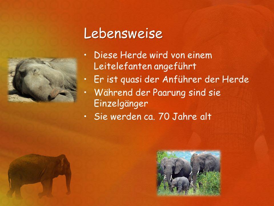 Lebensweise Diese Herde wird von einem Leitelefanten angeführt