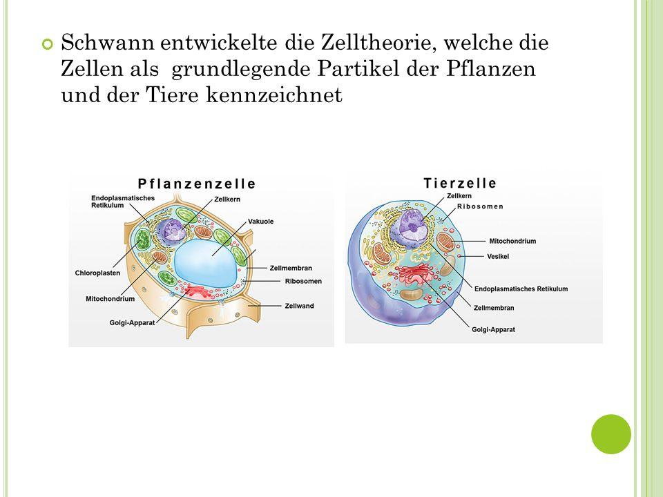 Schwann entwickelte die Zelltheorie, welche die Zellen als grundlegende Partikel der Pflanzen und der Tiere kennzeichnet