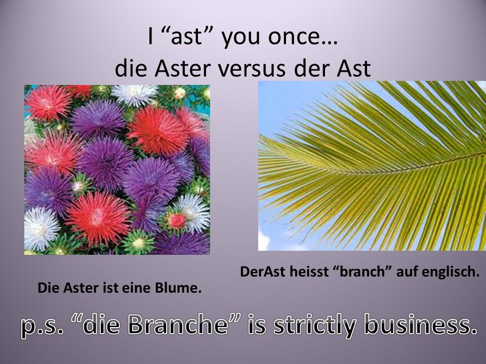 I ast you once… die Aster versus der Ast