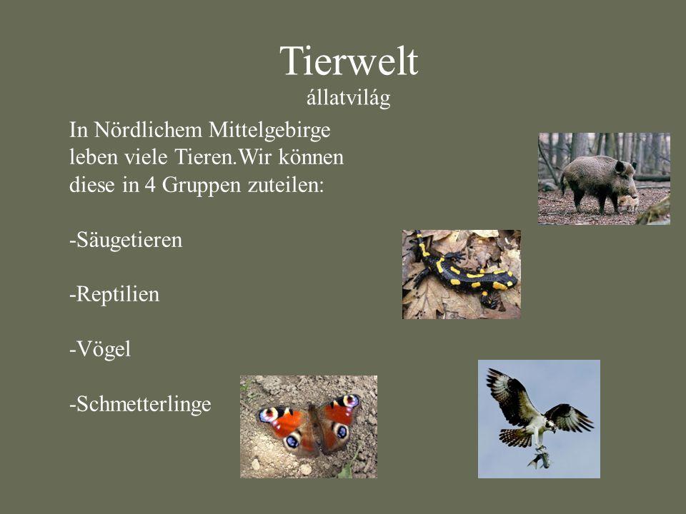 Tierwelt állatvilág. In Nördlichem Mittelgebirge leben viele Tieren.Wir können diese in 4 Gruppen zuteilen: