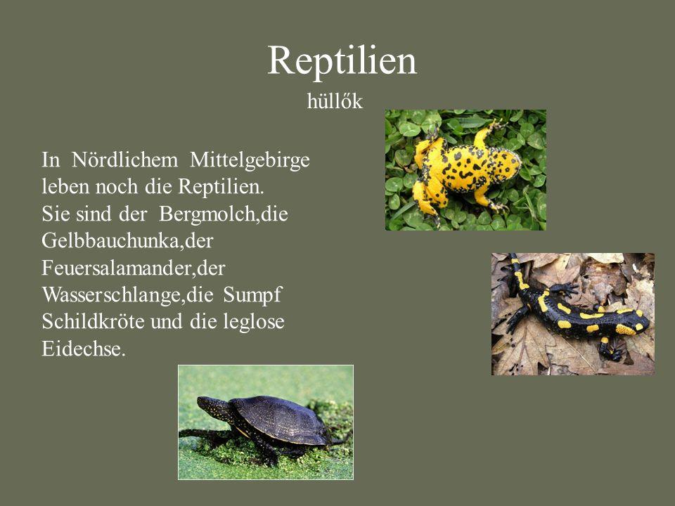 Reptilien hüllők In Nördlichem Mittelgebirge leben noch die Reptilien.