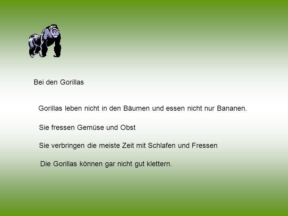 Bei den Gorillas Gorillas leben nicht in den Bäumen und essen nicht nur Bananen. Sie fressen Gemüse und Obst.