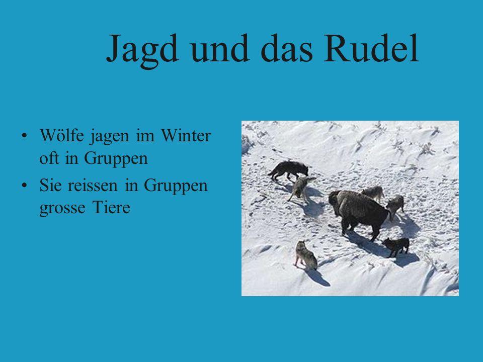 Jagd und das Rudel Wölfe jagen im Winter oft in Gruppen