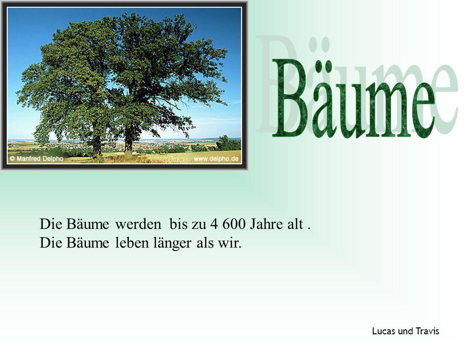 Bäume Die Bäume werden bis zu 4 600 Jahre alt .