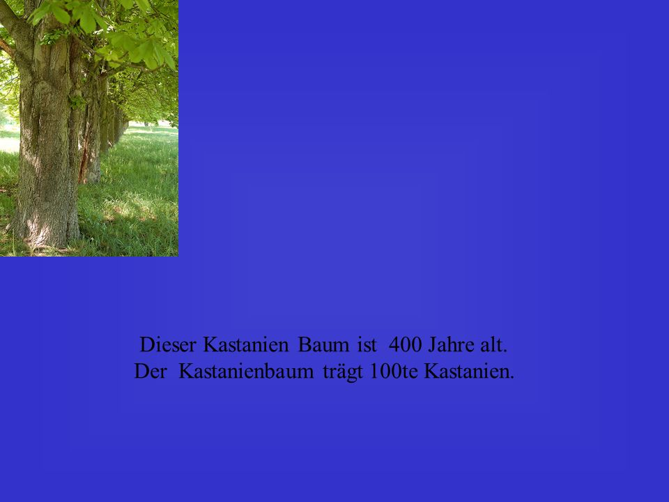 Dieser Kastanien Baum ist 400 Jahre alt.
