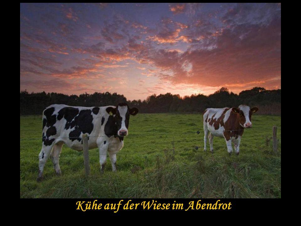 Kühe auf der Wiese im Abendrot
