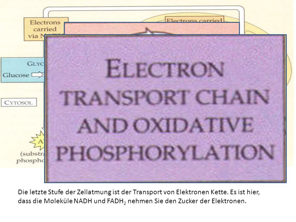 Die letzte Stufe der Zellatmung ist der Transport von Elektronen Kette