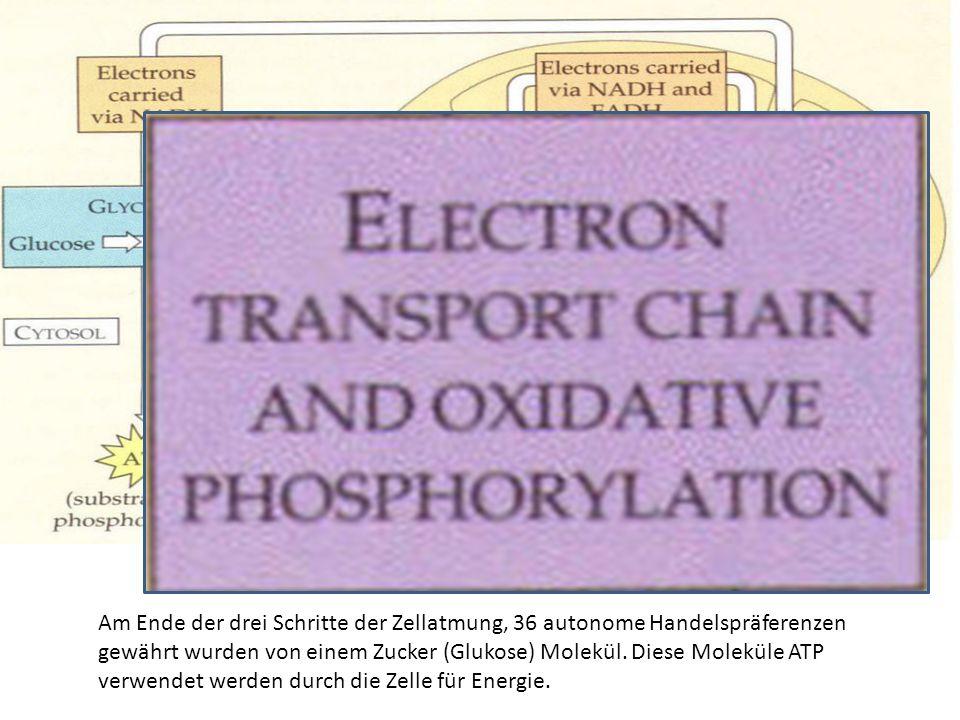 Am Ende der drei Schritte der Zellatmung, 36 autonome Handelspräferenzen gewährt wurden von einem Zucker (Glukose) Molekül.