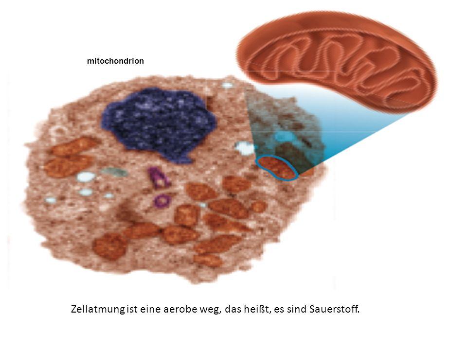 Zellatmung ist eine aerobe weg, das heißt, es sind Sauerstoff.