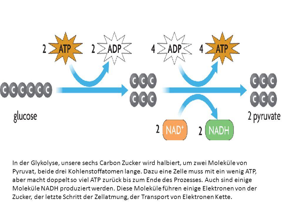 In der Glykolyse, unsere sechs Carbon Zucker wird halbiert, um zwei Moleküle von Pyruvat, beide drei Kohlenstoffatomen lange.