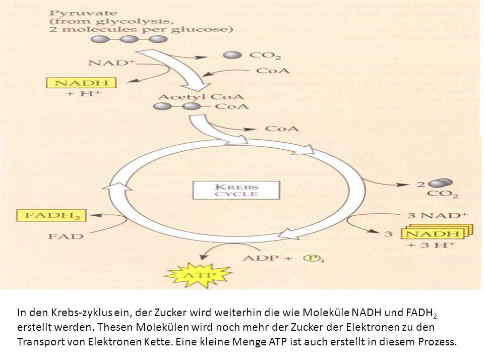 In den Krebs-zyklus ein, der Zucker wird weiterhin die wie Moleküle NADH und FADH2 erstellt werden.