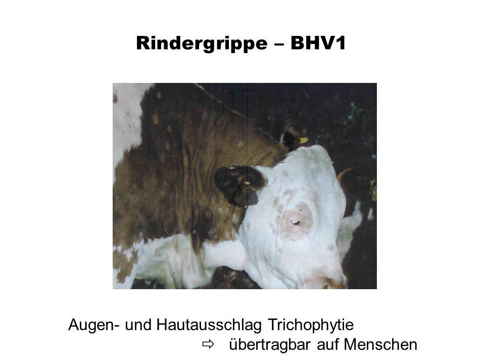 Rindergrippe – BHV1 Augen- und Hautausschlag Trichophytie