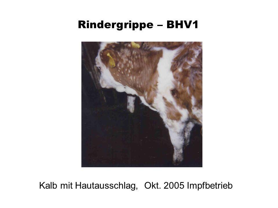 Rindergrippe – BHV1 Kalb mit Hautausschlag, Okt. 2005 Impfbetrieb