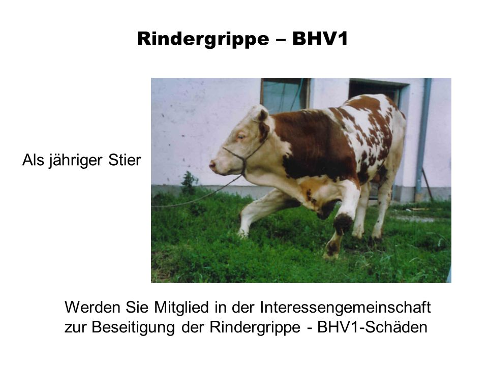 Rindergrippe – BHV1 Als jähriger Stier
