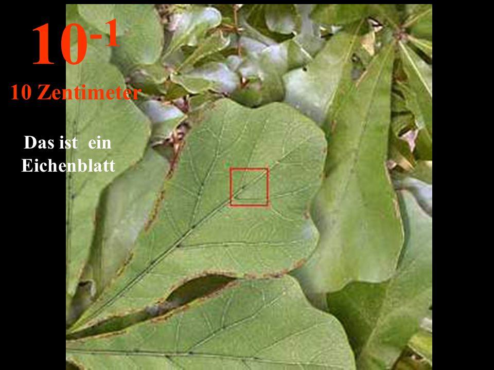 Das ist ein Eichenblatt