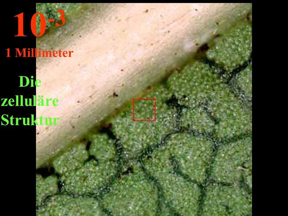 Die zelluläre Struktur