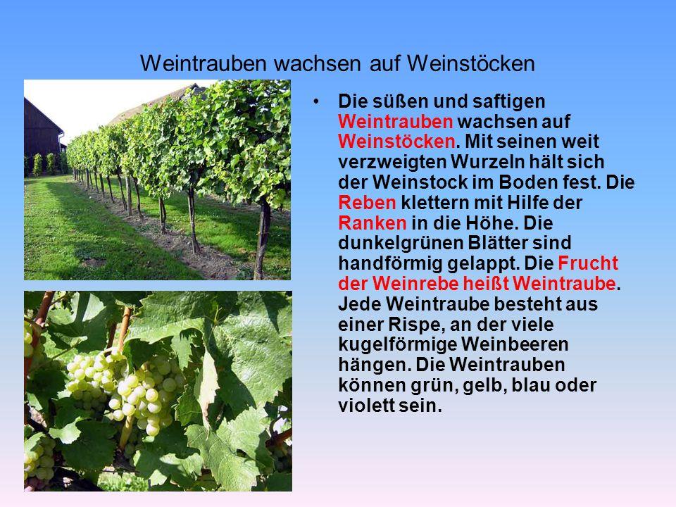 Weintrauben wachsen auf Weinstöcken