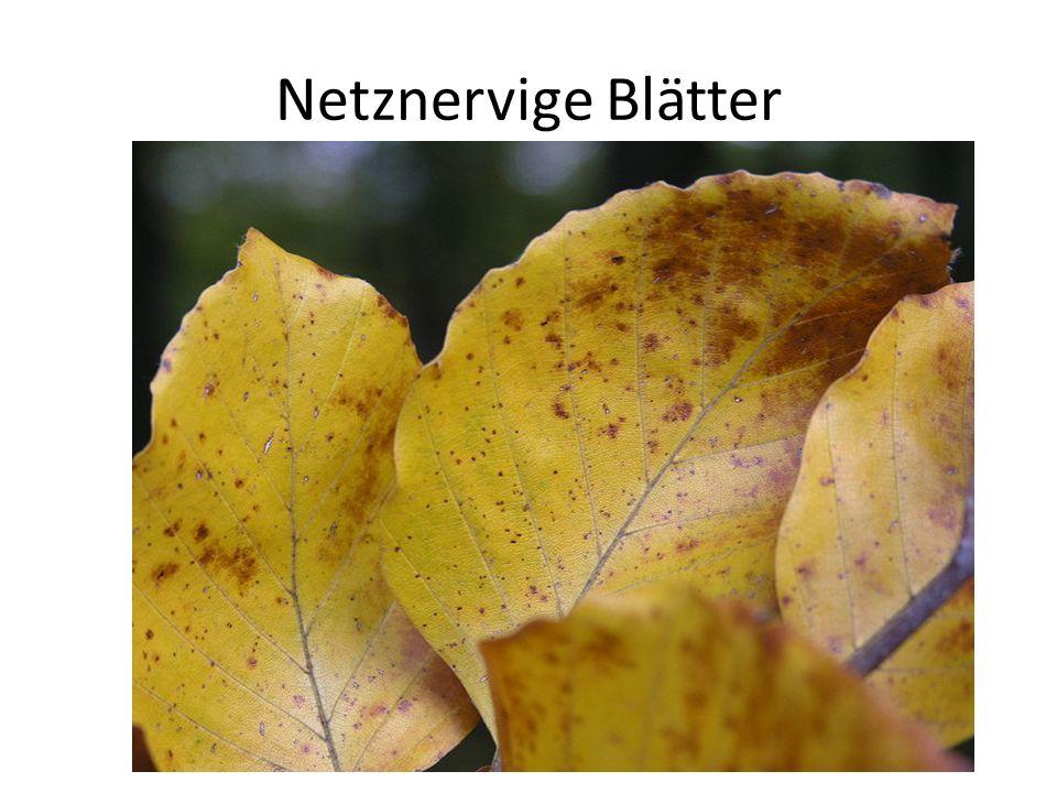 Netznervige Blätter