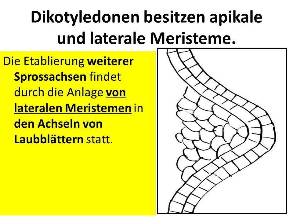 Dikotyledonen besitzen apikale und laterale Meristeme.