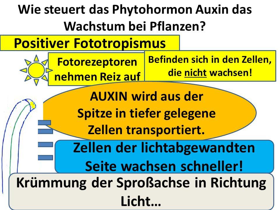 Wie steuert das Phytohormon Auxin das Wachstum bei Pflanzen