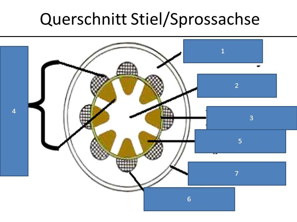 Querschnitt Stiel/Sprossachse
