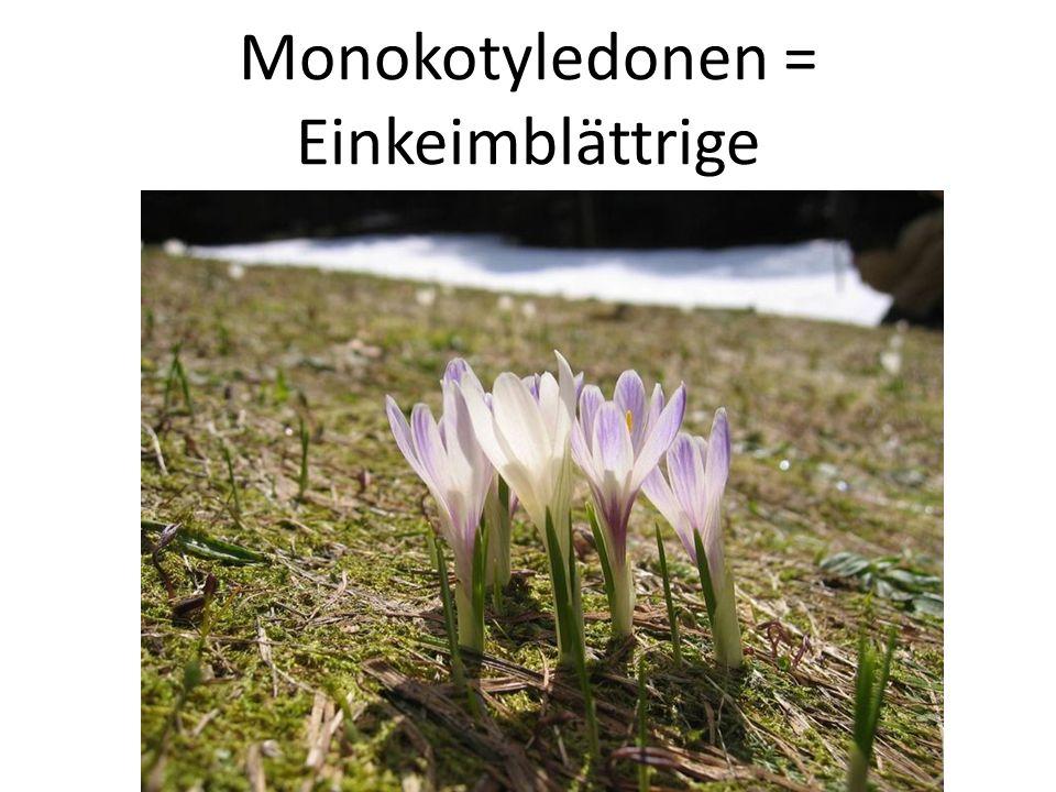 Monokotyledonen = Einkeimblättrige