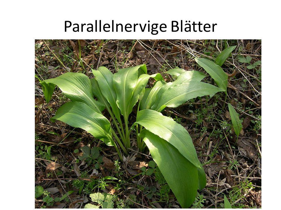 Parallelnervige Blätter