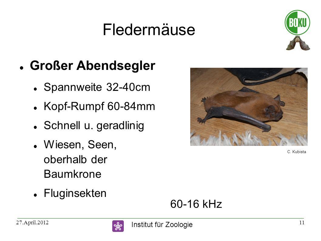 Fledermäuse Großer Abendsegler Spannweite 32-40cm Kopf-Rumpf 60-84mm