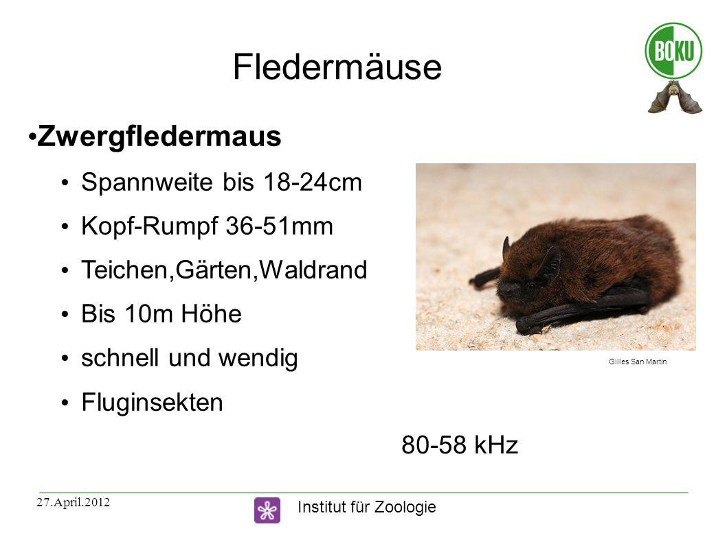 Fledermäuse Zwergfledermaus Spannweite bis 18-24cm Kopf-Rumpf 36-51mm