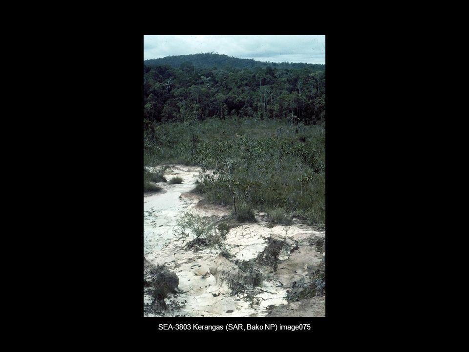 SEA-3803 Kerangas (SAR, Bako NP) image075