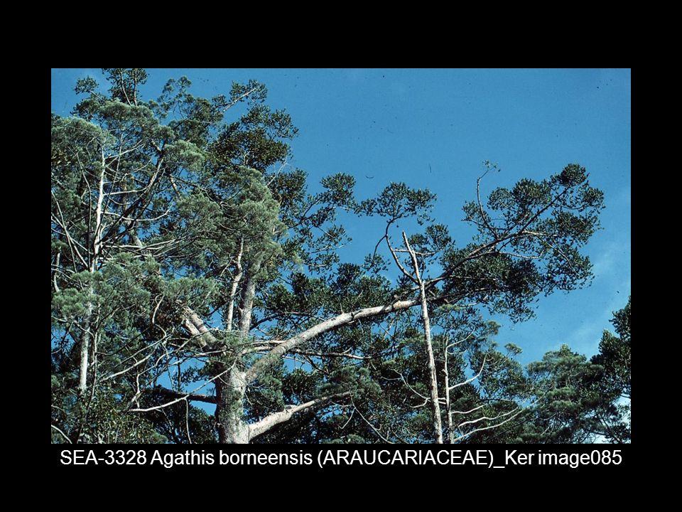 SEA-3328 Agathis borneensis (ARAUCARIACEAE)_Ker image085