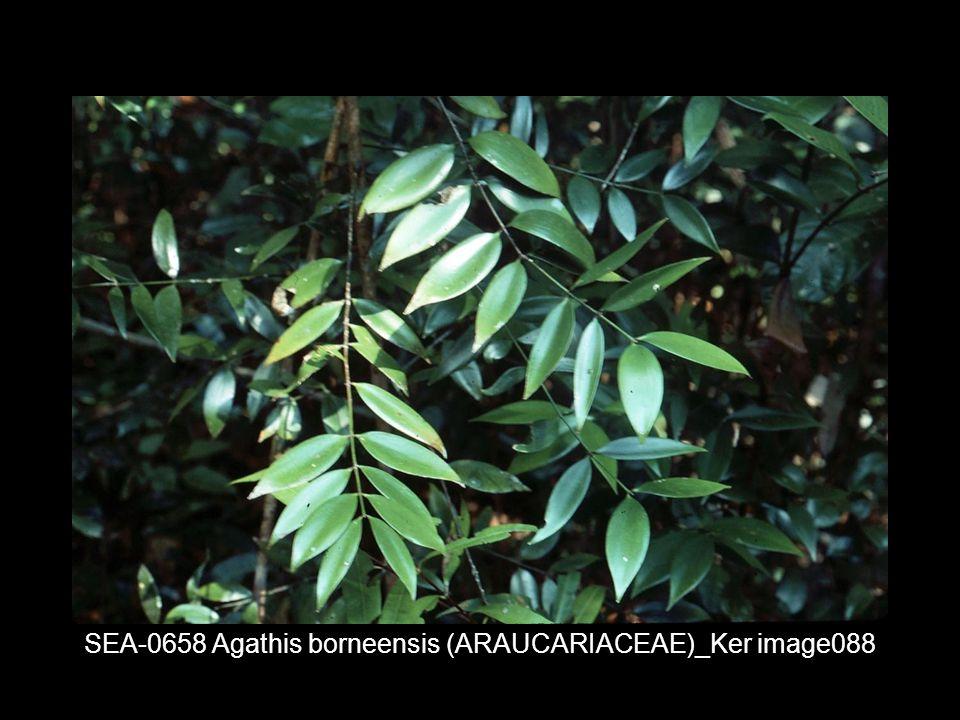 SEA-0658 Agathis borneensis (ARAUCARIACEAE)_Ker image088